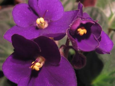 20090316000218-violetas.jpg