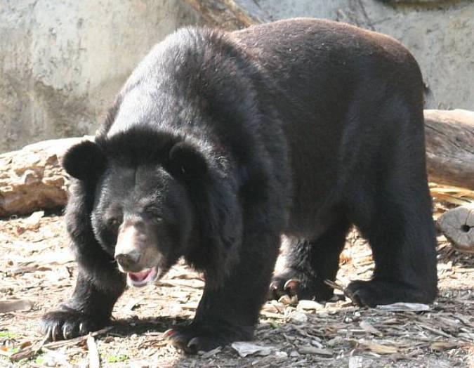 20111215213237-oso-negro-asiatico.jpg